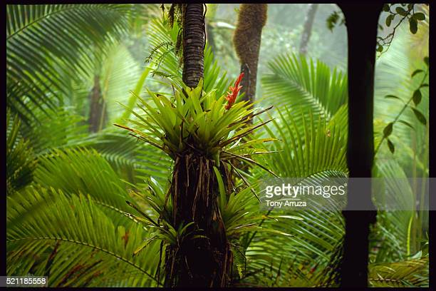 rainforest bromeliad and palms, puerto rico - epiphyte stock pictures, royalty-free photos & images