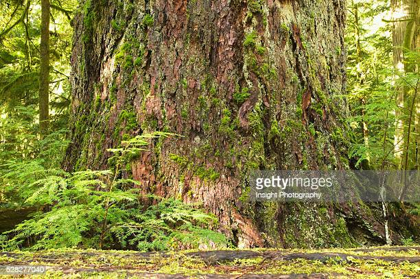 Rainforest, Cathedral Grove, Bc, Canada