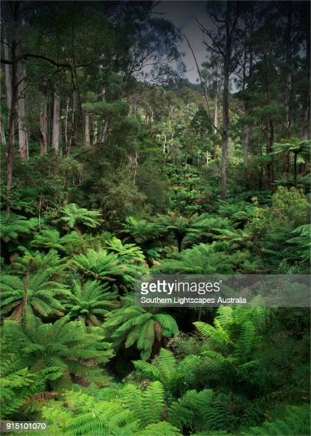 rainforest gully filled with ancient tree-ferns, tarra bulga national park, south gippsland, victoria - forest floor stock photos and pictures