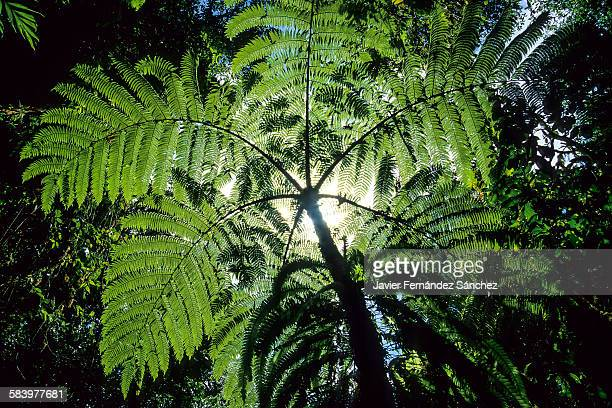 Rainforest. Monteverde. Costa Rica. Tree fern.