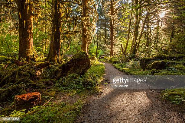 rainforest trail, olympic national park - leckert stock pictures, royalty-free photos & images