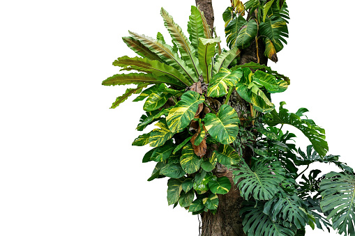 Rainforest tree trunk with tropical foliage plants, Monstera, golden pothos vines ivy, bird's nest fern, and orchid leaves isolated on white background with clipping path, rich biodiversity in nature. 992875006