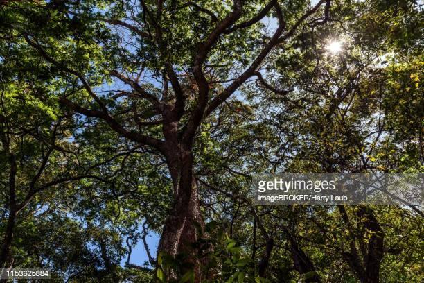 rainforest treetops, sandbox tree (hura crepitans), rincon de la vieja national park, parque nacional rincon de la vieja, guanacaste province, costa rica - guanacaste stock pictures, royalty-free photos & images