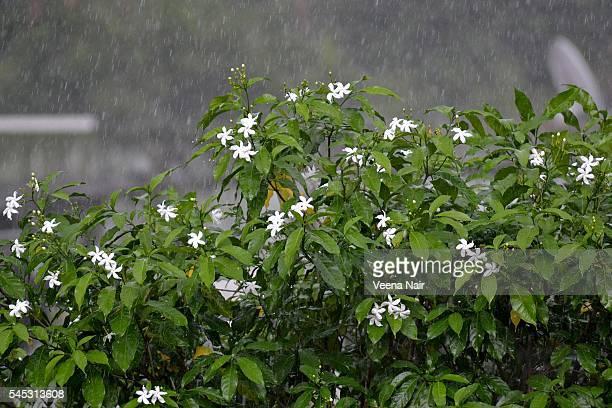 rain-monsoon-star jasmine flowers-nature - jasmin sturm stock-fotos und bilder
