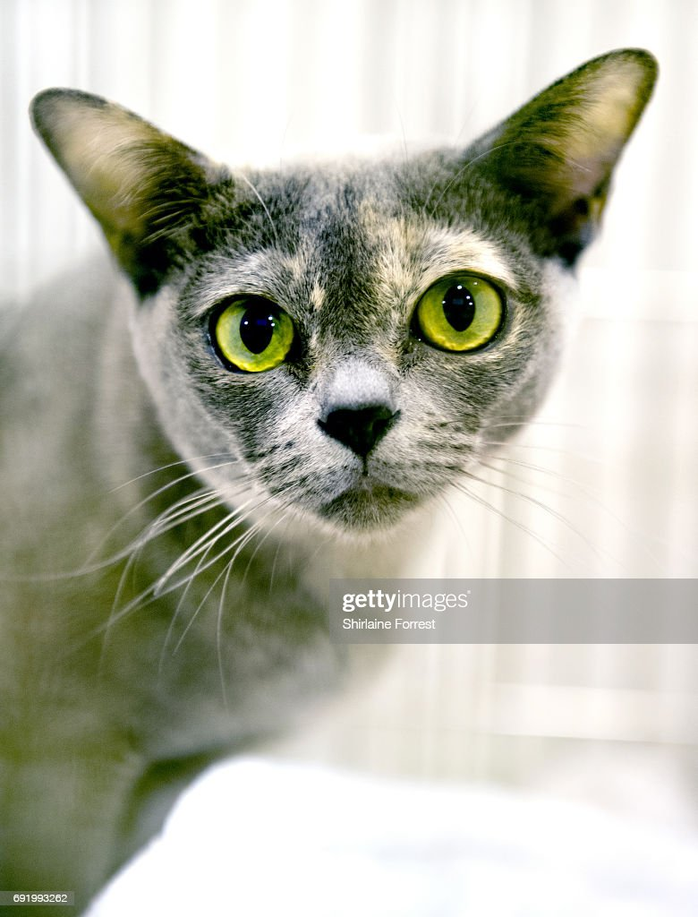 Rainsong Unforgettable, a tortie Burmese cat at Merseyside Cat Club Championship show at Sutton Leisure Centre on June 3, 2017 in St Helens, England.