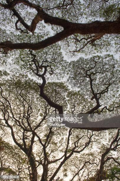 raintree (samanea saman), kochi, cochin, kerala, india - mimose foto e immagini stock