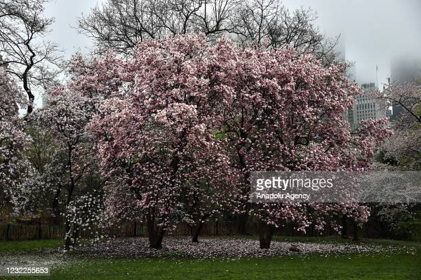 Rainy day with colorful spring trees at the Central Park New York City, United States on April 11, 2021.
