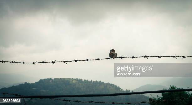 rainy day.barbwire.sparrow. - barbed wire stock pictures, royalty-free photos & images