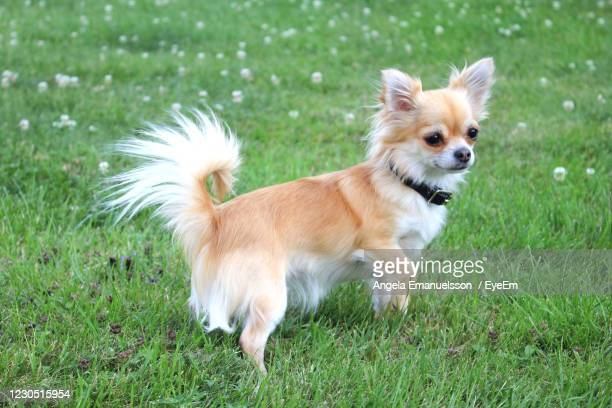 rainy the chihuahua - pure bred dog stock pictures, royalty-free photos & images
