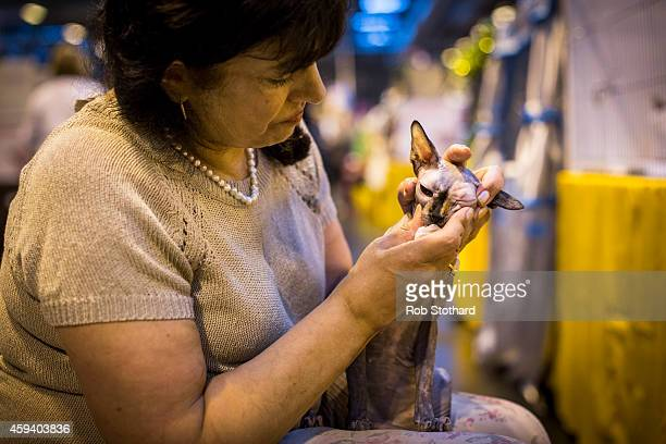Raisin, a Sphinx cat, is groomed by its owner at the Governing Council of the Cat Fancy's 'Supreme Championship Cat Show' at the NEC Arena on...