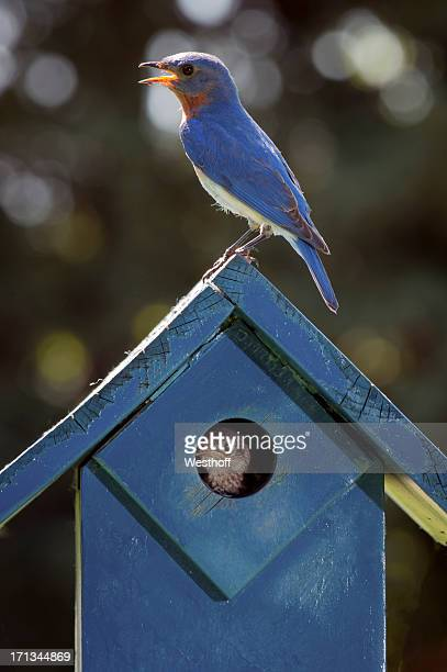 raising bluebirds - eastern bluebird stock pictures, royalty-free photos & images