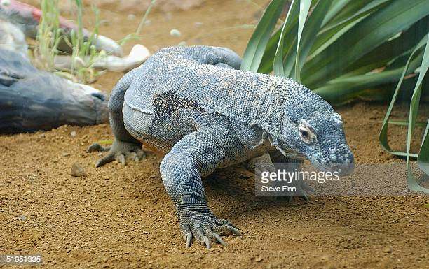 Raja the Komodo dragon the latest addition to London Zoo as part of an international conservation programme is seen on June 12 2004 at London zoo in...