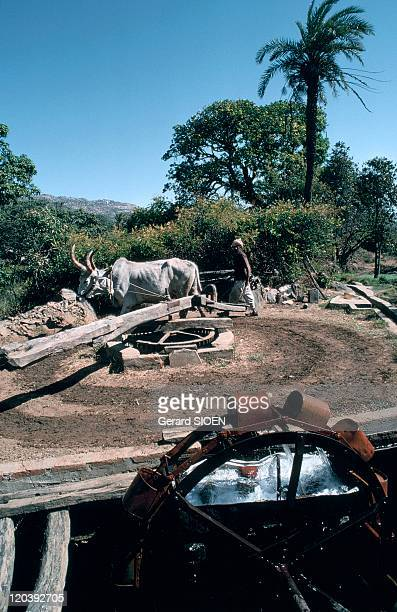 Rajasthan India Abu mount fetching water with oxen