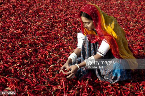 rajasthani village woman working in chilli field, jodhpur, rajasthan, india - 南アジア ストックフォトと画像