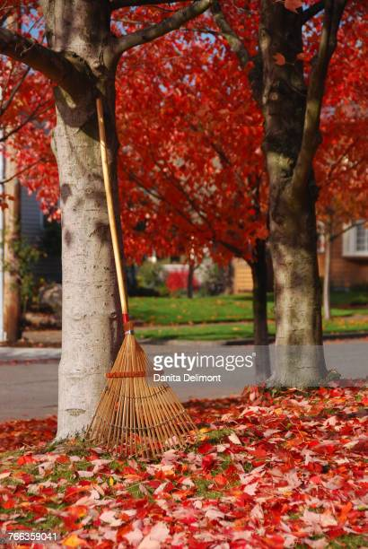 Rake and fallen leaves under autumn colored maple (Acer) trees, Portland, Oregon, USA