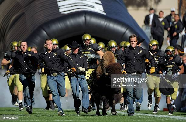 Ralphie V the mascot of the Colorado Buffaloes leads the team onto the field as they host the Missouri Tigers at Folsom Field on October 31 2009 in...