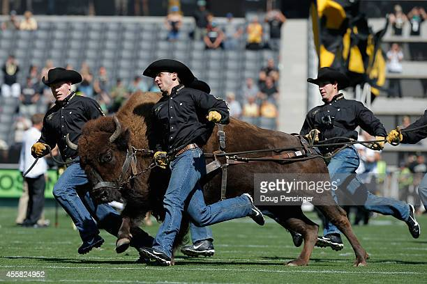 Ralphie V the mascot of the Colorado Buffaloes takes the field as the Hawaii Rainbow Warriors face the Colorado Buffaloes at Folsom Field on...