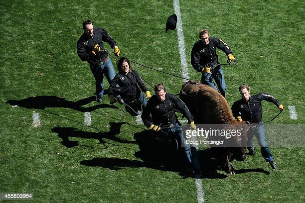 Ralphie V the mascot of the Colorado Buffaloes takes the field for the second half against the Hawaii Rainbow Warriors at Folsom Field on September...