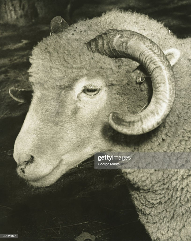 Ram, (B&W), close-up : Stock Photo