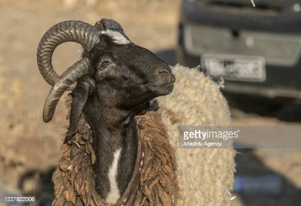 A ram is seen at a livestock market ahead of the Eid alAdha near Manouba district of Tunis Tunisia on July 29 2020