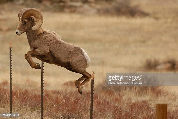 ram jumping over fence - ram animal stock photos and pictures