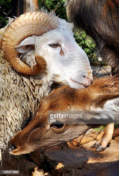 A ram named Changmao who has formed an inseparable bond with a female deer named Chunzi spend time together at the Yunnan Wild Animal Park in Kunming...