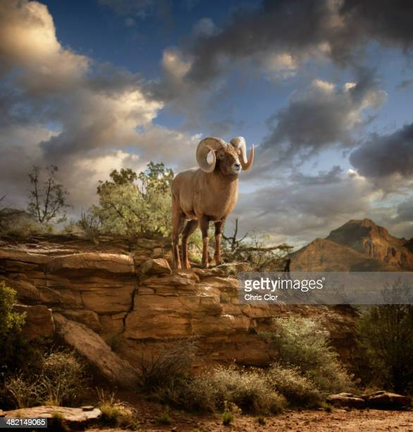ram on rock formation in desert - ram animal stock photos and pictures