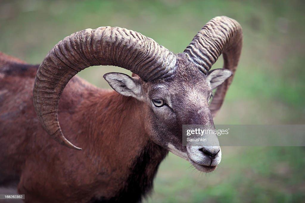 Ram : Stock Photo