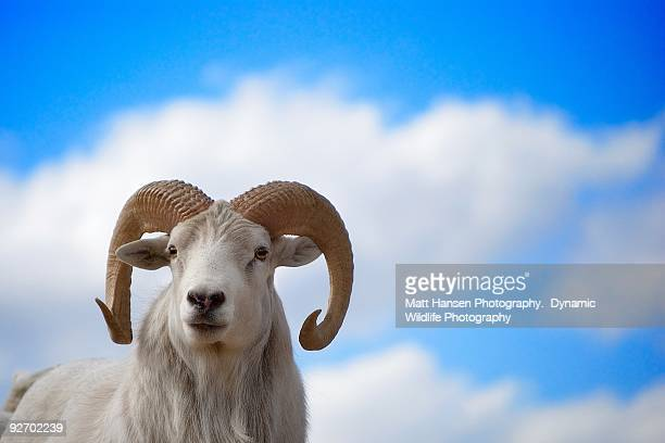 ram portrait - file:bighorn,_grand_canyon.jpg stock pictures, royalty-free photos & images