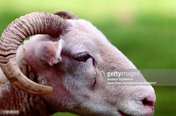 ram profile - ram animal stock photos and pictures