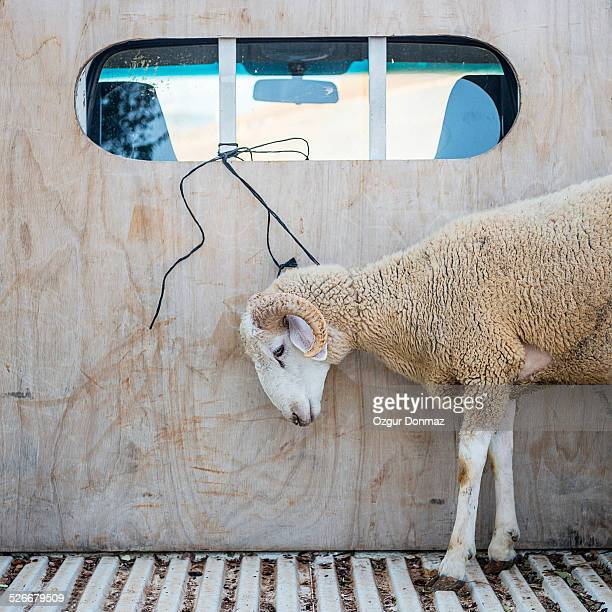 ram ready to be sacrificed - animal welfare stock photos and pictures