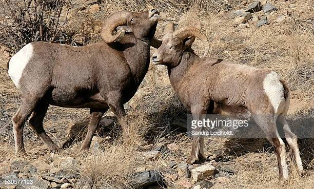ram rivalry - ram animal stock photos and pictures