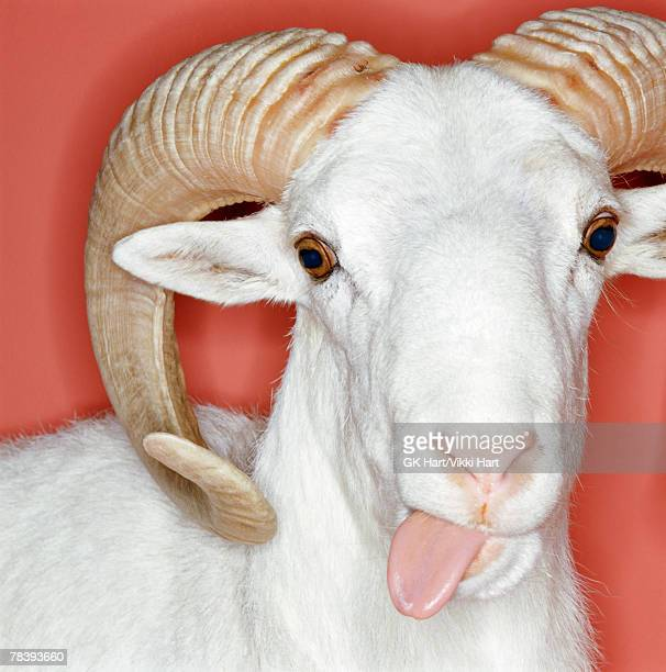 ram sticking its tongue out - ram animal stock photos and pictures