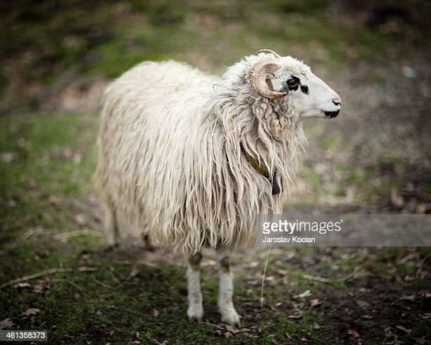 Ram the fileld