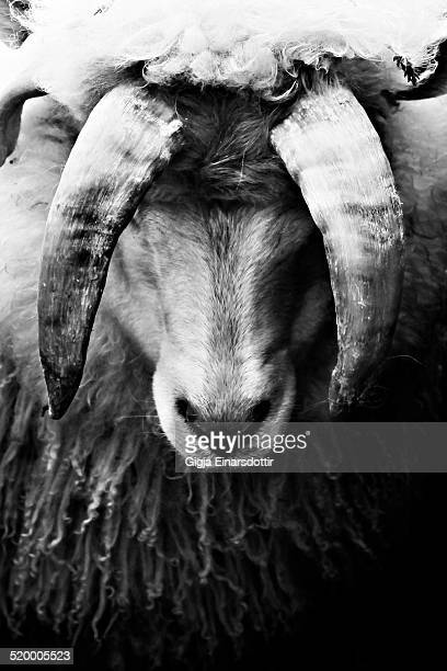 Ram with deformed horns