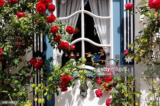 Rambler rose in front of a door