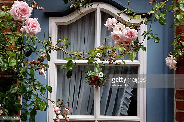 Rambler rose in front of a window