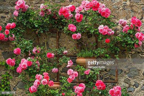 Rambler roses and lavender, historic centre, Braunfels, Hesse, Germany