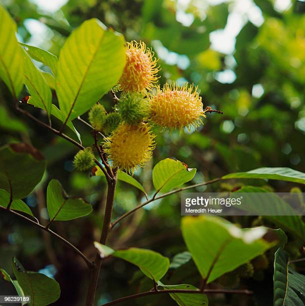rambutan on tree - hawaii inselgruppe stock-fotos und bilder