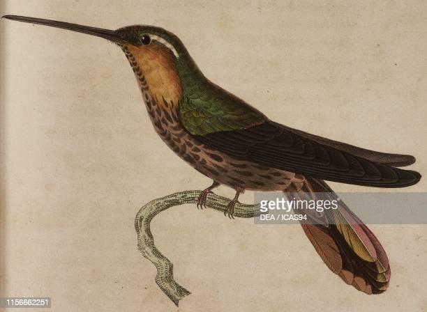 Ramphodon tachete , male, colored engraving by Oudet after an illustration by Pretre, Plate 1, from Histoire naturelle des colibris suivie d'un...