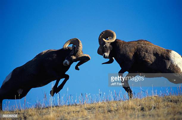 Rams display traditional mating season behavior by butting heads. Ovis canadensis.