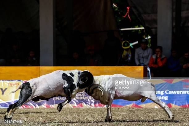 Rams fight at a traditional sheep fighting during a Sundanese traditional cultural event called Adu Domba Garut at Rancabango village in Garut West...