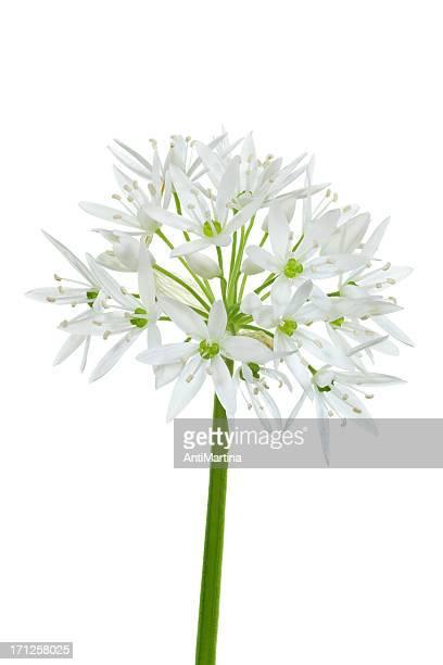 Bärlauch (allium ursinum), isoliert auf weiss