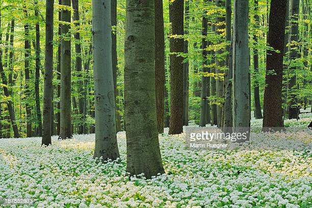 Ramsons in beech forest