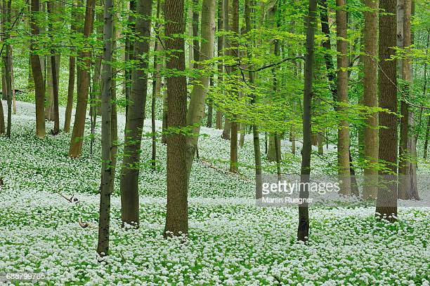 Ramsons in beech forest.