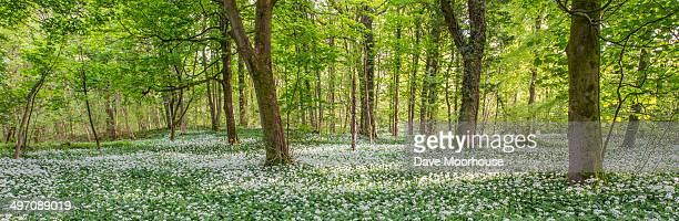 Ramsons in English Woodland