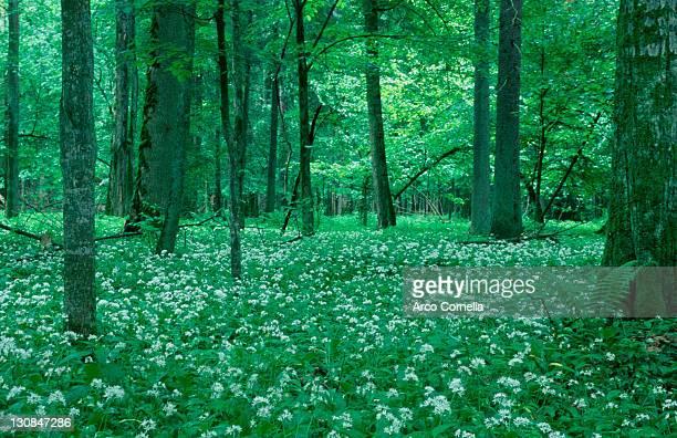 ramsons, primeval forest bialowieza, poland / (allium ursinum) - bialowieza forest stock pictures, royalty-free photos & images