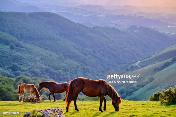 rance, basque country, pasture at the col des veaux - cavallo equino foto e immagini stock