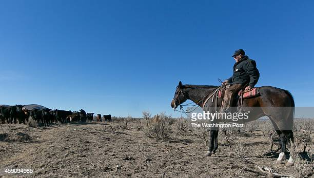 Ranch hand George Taylor keeps a herd in check as ranch hands sort out three different owners' cattle after a roundup on the Duck Valley Indian...