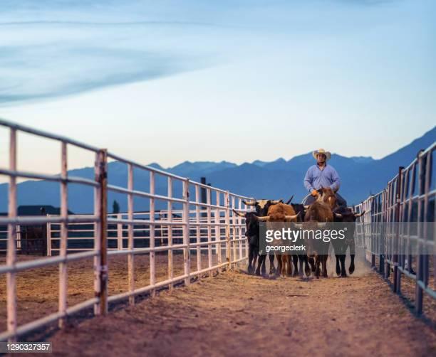 夕暮れ時に牛を動かす牧場労働者 - 家畜柵 ストックフォトと画像